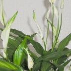 piante-da-scrivania-per-ufficio-default-121288-0